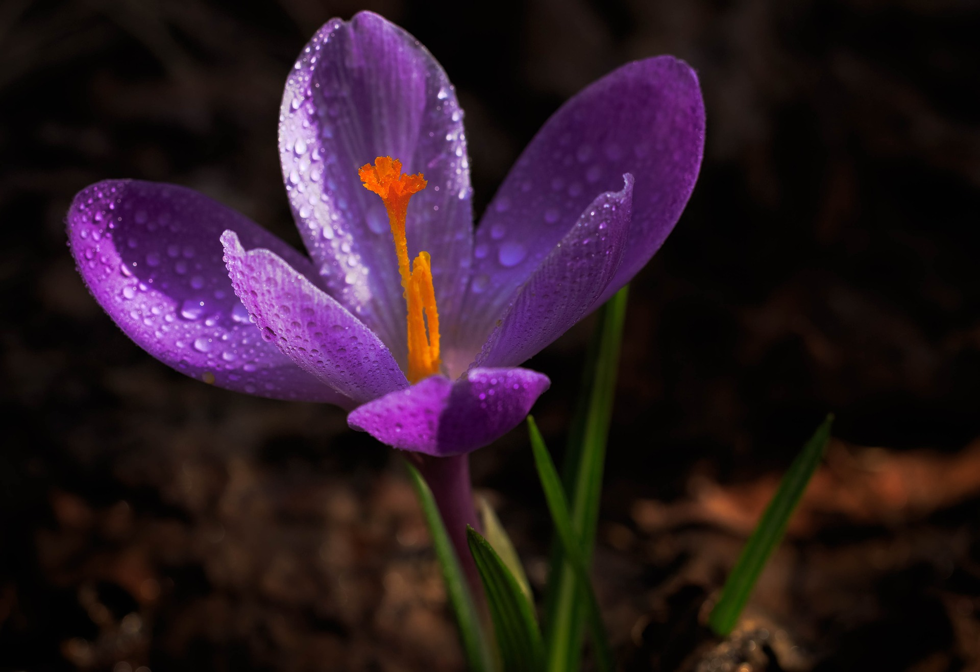 What is a Saffron Plant