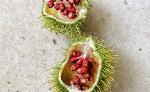What is Annatto Seeds