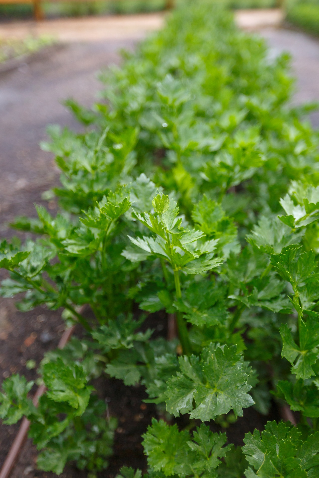 Parsley for Kidney