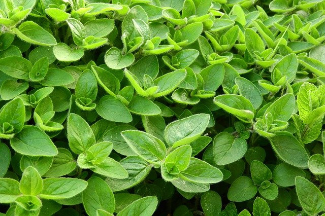 What is Marjoram Spice