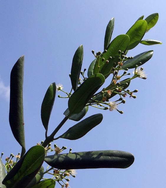Jamaica pepper